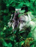 Un lobo acechando entre los matorrales